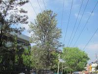https://lh3.googleusercontent.com/-z3HnnWKXu_w/T3RehqXIyBI/AAAAAAAAAIU/pnIWlax1bNQ/s1600/Silver+Oak+Tree+-+Canopy.jpg