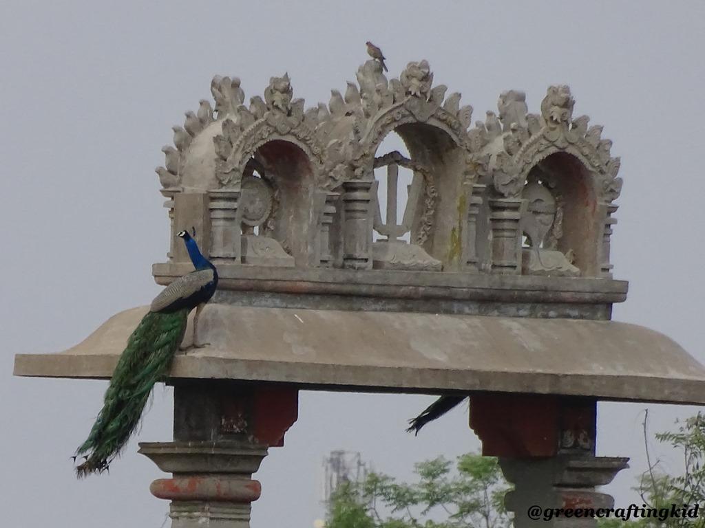 [Peacock.2%5B2%5D]