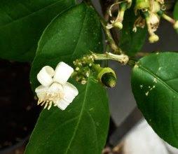 Cytryna kwiat Citrus limon flower