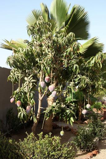 Mangifera indica - manguier IMG_1177