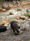 Wild Pig (Chavin, Peru)