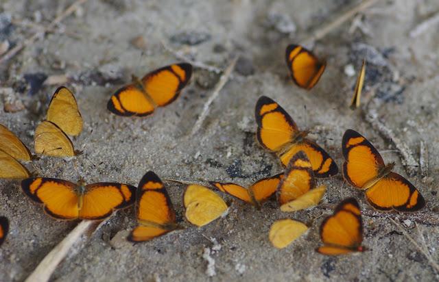Tegosa anieta anieta (Hewitson, 1864). Cupiagua, 720 m (Casanare, Colombie), 5 novembre 2015. Photo : J.-M. Gayman