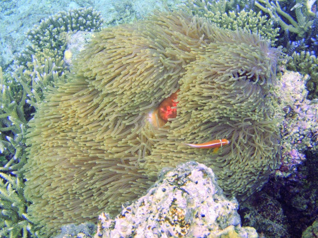Ritteri Anemone with Ocellaris Clownfish (Amphiprion ocellaris)