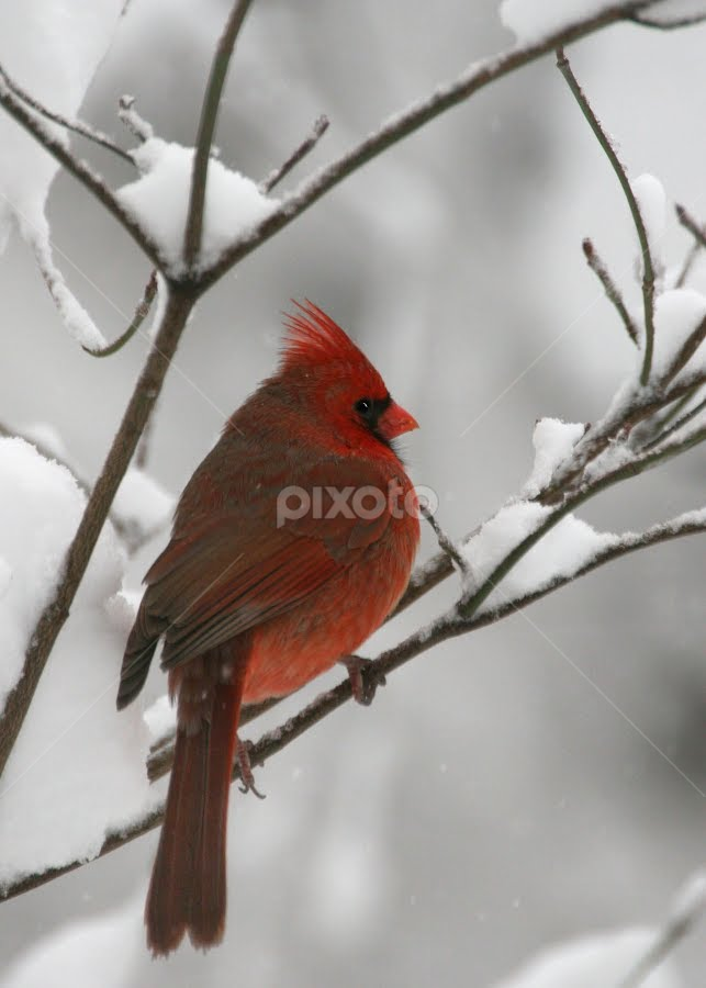 Male Cardinal by Donna Neal - Animals Birds (  )
