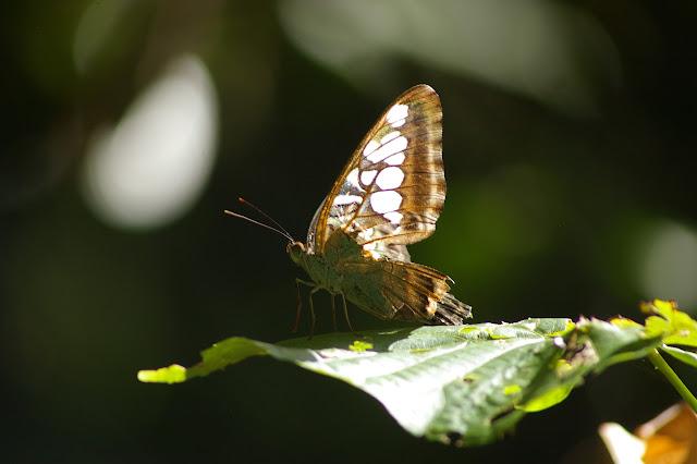 Parthenos sylvia borneensis STAUDINGER, 1889.  Lot n°2, Sukau (Sabah), 15 août 2011. Photo : J.-M. Gayman