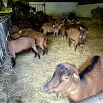 Ferme de Coubertin : chèvres