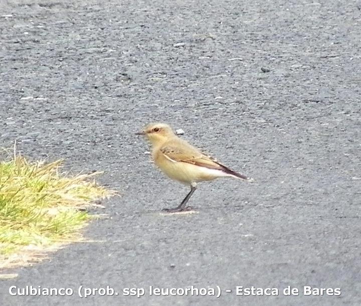 Culbianco (prob. ssp leucorhoa) - Estaca de Bares
