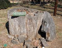 300 Year Old White Oak