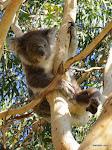 Koala, Kennett River  [2013]