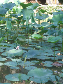 Pássaro no lago de Lotus