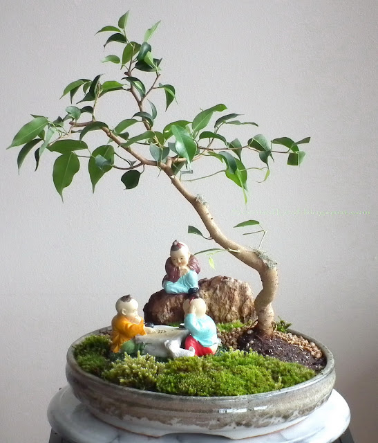 saikei with ficus wiandi prebonsai slanting style