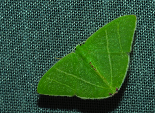 Geometridae : Geometrinae : Urolitha bipunctifera WALKER, 1961. Umina Beach (N. S. W., Australie), 28 décembre 2011. Photo : Barbara Kedzierski