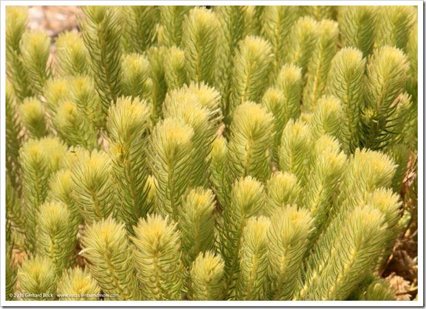 160813_UCSC_Arboretum_Phyllica-pubescens_001