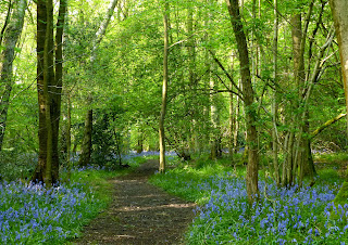 A walk through the bluebells, Drayton Wood, Cholesbury, The Chiltern Hills