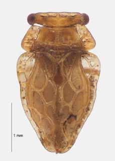 Oiophysa paradoxa (Hemiptera: Peloridiidae). Photo BE Rhode, colour correction in collaboration with M-C Larivière.Citation: Larivière M-C, Burckhardt D, Larochelle A. 2011. Peloridiidae (Insecta: Hemiptera: Coleorrhyncha). Fauna of New Zealand 67. 78 pp. http://www.biotaxa.org/fnz/issue/view/431