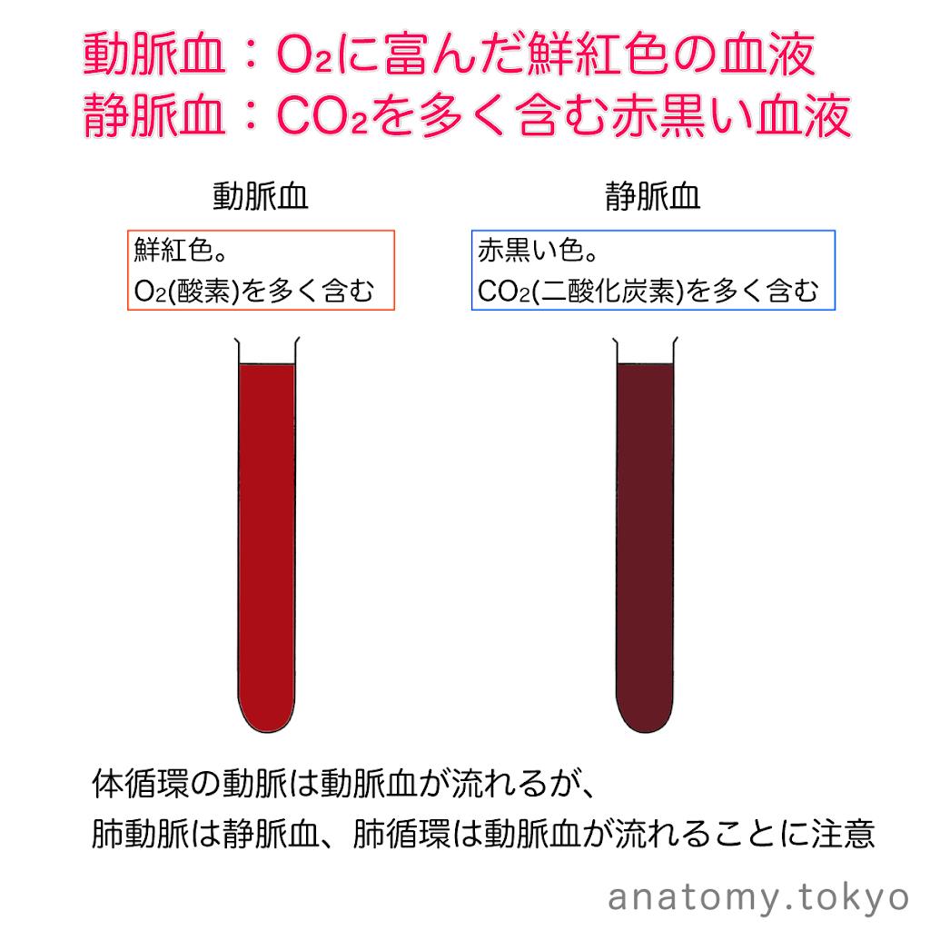 t211-04-動脈血と静脈血.png