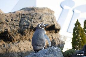 どっかと追い所を見て物思いに耽るペンギンさんです。何見てるんだろ。