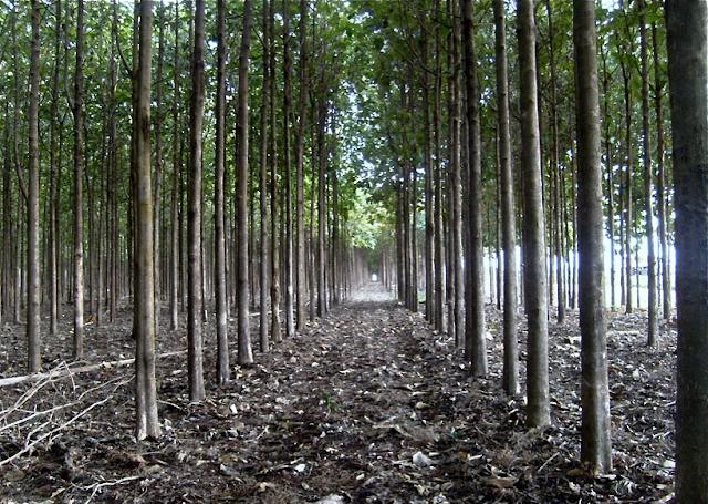 Plantation de teck. Município de Sinop, à 160 km de Colider (Mato Grosso, Brésil), 20 juillet 2010. Photo : Cidinha Rissi