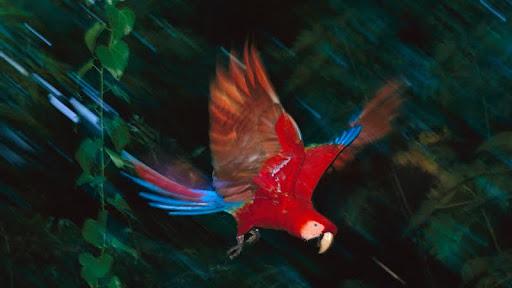 Scarlet Macaw, Tambopata National Reserve, Peru.jpg