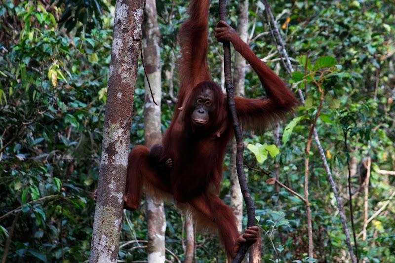 Una madre orangután colgada de una liana