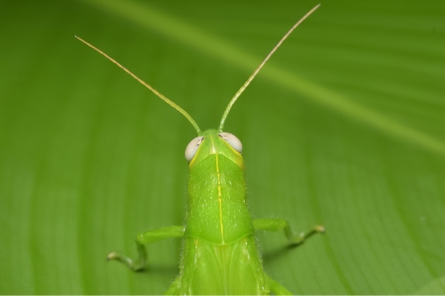Macro photo - green grasshopper