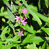 Purple%252520loosestrife%252520lythrum%252520salicaria