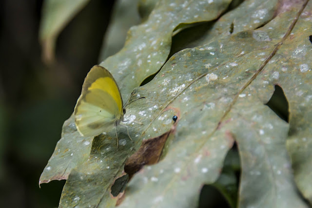 Eurema phiale columbia (C. Felder & R. Felder, 1861). Campamento Las Moyas, 1100 m (Boyacá, Colombie), 1er novembre 2015. Photo : B. Lalanne-Cassou