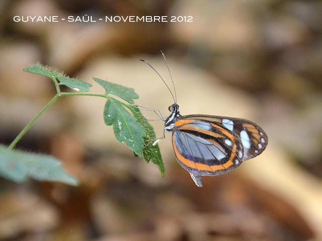 Dismorphia theucharila theonoe (HEWITSON, [1853]). Saül, novembre 2012. Photo : M. Belloin