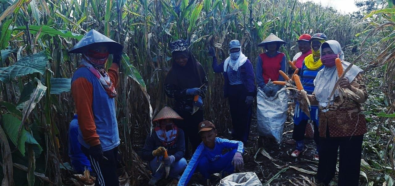 Pendemi Covid-19, Tak Patahkan Semangat Penyuluh Kostratani Dampingi Petani Panen Jagung