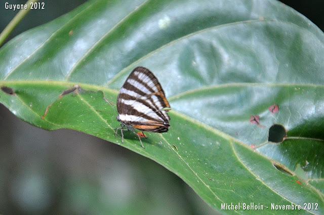 Arawacus aetolus (SULZER, 1776). Saül, novembre 2012. Photo : Michel Belloin