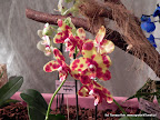 Phalaenopsis Arlequin