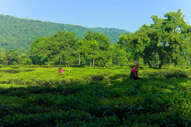 Picking tea leaves on tea plantations at Srimangal. ©Photo Credit: Saifullah Robin