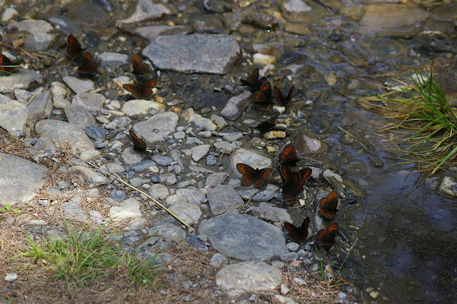 Rassemblement d'Erebia euryale (Esper, 1805). Super Sauze (1700 m), 13 juillet 2010. Photo : J.-M. Gayman