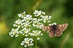 Terningssommerfugl, Hamearis lucina.jpg
