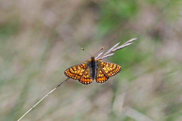 Euphydryas aurinia provincialis (BOISDUVAL, 1828), mâle. Les Hautes-Courennes (550 m). Saint-Martin-de-Castillon (Vaucluse), 7 mai 2014. Photo : J.-M. Gayman
