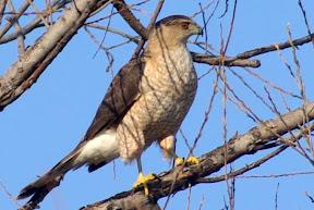 Hawk Family