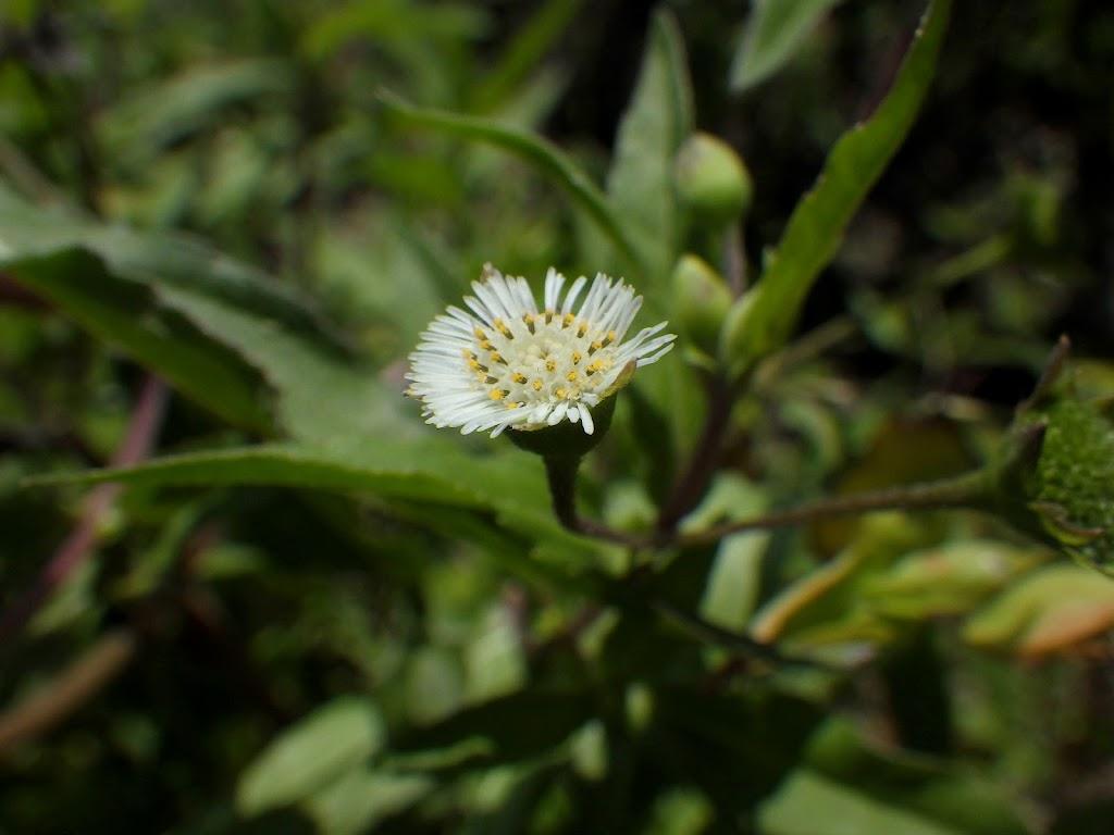 タカサブロウの花