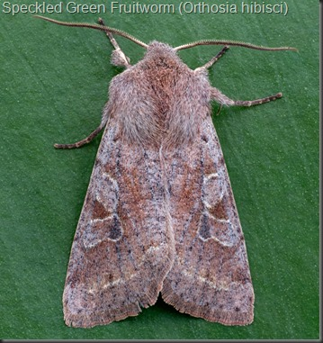 Speckled Green Fruitworm (Orthosia hibisci)