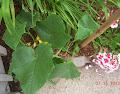tendergreen cuke still lagging, but finally has first male flowers
