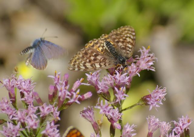 Didymaeformia didyma ESPER, 1779, femelle. 1700 m, Le Châtelet (St-Paul-sur-Ubaye), 5 août 2009. Photo : J.-M. Gayman