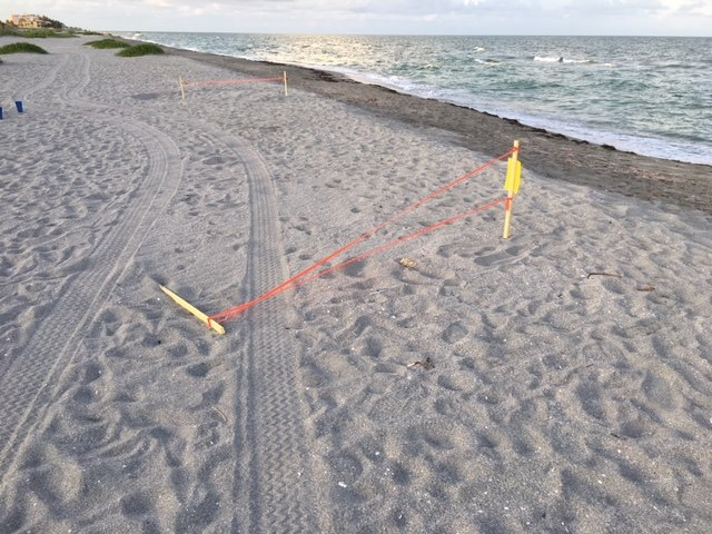 Sea turtle nests run over by vehicle in south Siesta Key, Florida, 22 June 2018. Photo: Mote Marine Laboratory and Aquarium