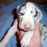 available harlequin male @ 2 weeks