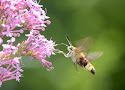 20 kolibrievlinder.jpg
