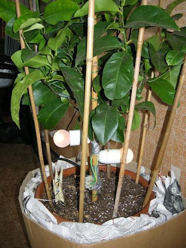 Tropicamente forum - Canne bambu in vaso ...