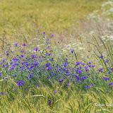Василек синий (Centaurea cyanus)