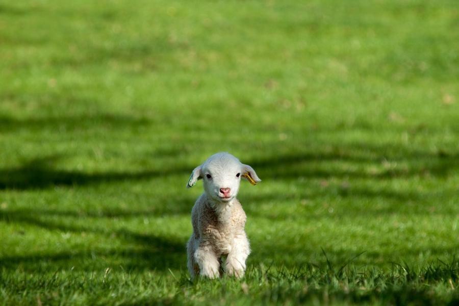 [lamb-on-a-green-field-big%5B4%5D]