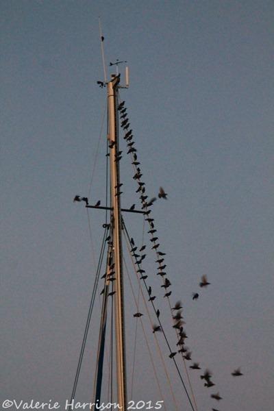 37-starlings