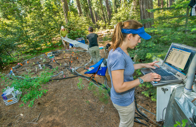 An innovative deep soil warming experiment in full swing. Scientist Caitlin Hicks Pries downloads soil temperature data while fellow Berkeley Lab scientists Cristina Castanha (left) and Neslihan Tas (middle) work on an experimental plot in the background. Photo: Berkeley Lab