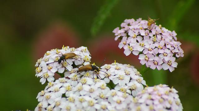 Cerambycidae : Lepturinae : Brachyleptura fulva DE GÉER, 1775. Les Hautes-Lisières (Rouvres, 28), 19 juin 2011. Photo : J.-M. Gayman