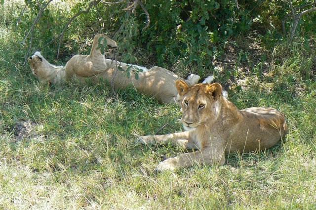 Serengeti National Park - lions